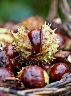 Buckeyes (Horsechestnuts) Herbst-die schönen Farben der eine sogar glänzenden Kastanien ♥