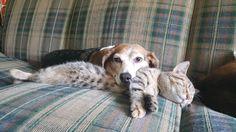 Cat makes good headrest for dog