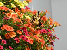 Butterfly (Summer flowers ). Photo by misseymarie