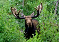 Shiras Moose - Grand Teton National Park by Al_HikesAZ, via Flickr