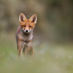 Little foxes are the best!! ;-) by Pim Leijen - Photo 17167491 / 500px