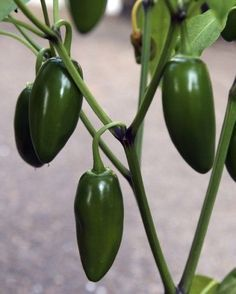 Growing And Caring For Jalapeno Peppers.. They don't require allot of water...the dryer usually the hotter/spicier they are. I love cooking with fresh jalepenos so I usually have these plants year round.