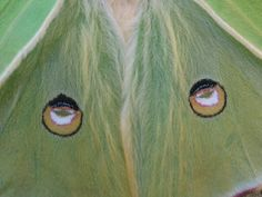 Luna Moth Moth Wings, Close Up Pictures, Spirit Animal, Butterflies, Painting, Animals, Art, Art Background, Animales