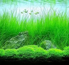 We can offer you many species of live aquarium plants. You will be able to design and create your own unique aquarium world filled with green plants. Especially we encourage you to look at foreground plants. You can arrange with them beautiful aquascape. Aquarium Aquascape, Betta Aquarium, Planted Aquarium, Aquascaping, Freshwater Aquarium Plants, Tropical Fish Aquarium, Live Aquarium Plants, Betta Fish Tank, Pond Plants