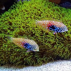 Reef Tank and Saltwater Fish Saltwater Fish Tanks, Saltwater Aquarium, Freshwater Aquarium, Aquarium Fish, Coral Reef Aquarium, Marine Aquarium, Marine Fish, Colorful Animals, Colorful Fish