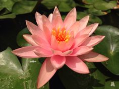 Water lily!