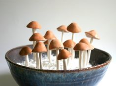 Edible Wild Sugar Mushrooms of the genus Psilocybe Cubensis