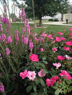 Lythrum and knockout roses