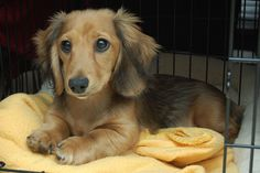 Dogs and puppies dachshund doggies ideas for 2019 Dachshund Art, Long Haired Dachshund, Dachshund Puppies, Cute Puppies, Cute Dogs, Dogs And Puppies, Daschund, Chihuahua, Wiener Dogs