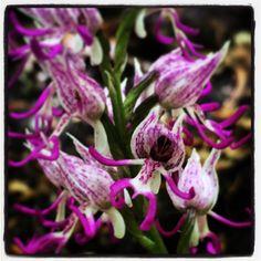 orchidee del Pollino