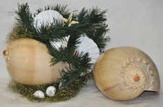 Giant Melon shells and pristine Porcelain Scallops accented with China Seas Starfish and Pearl Turbos nestle in gold Spun Metal - a Coastal Christmas!   http://looseends.com/arts-n-crafts/level-pages/seashells/specimen.htm
