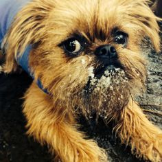 My Hugo with a snow beard - Brussels Griffon