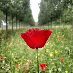 Akyazı yolunda bir gelincik (ve) tarlası ... #flowers #flower #petal #petals #nature #beautiful #love #pretty #plants #blossom #sopretty #spring #summer #flowerstagram #flowersofinstagram #flowerstyles #flowerslovers #botanical #floral #florals  #flowermagic #instablooms #bloom #blooms #botanical #floweroftheday #poppy http://gelinshop.com/ipost/1519074168954769483/?code=BUU1eiEBVBL