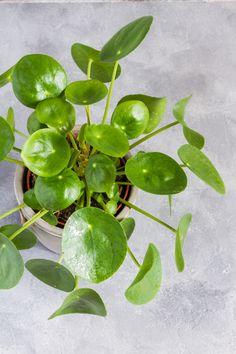 Pilea Pflege - New Ideas Indoor Garden, Indoor Plants, Vertical Rock, Japanese Garden Design, Ivy Plants, House Plant Care, Growing Herbs, Beautiful Kitchens, Natural Materials