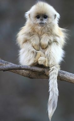 ~~Golden snub-nosed monkey |  (Rhinopithecus roxellana), they are endemic to a small area in temperate, mountainous forests of central and Southwest China | wikipedia~~
