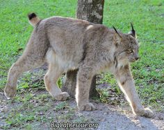 There will be a live video happening at Facebook.com/bigcatrescue about 6:00pm ESTThis is Gilligan, a Canadian Lynx