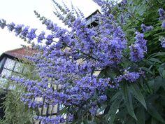 Vitex agnus-castus, el arbusto medicinal más decorativo - https://www.jardineriaon.com/vitex-agnus-castus.html #plantas
