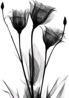 black and grey Black And White Picture Wall, Black And White Flowers, Black And White Pictures, Xray Flower, Flower Art, Dark Art Drawings, Art Drawings Sketches, Flower Phone Wallpaper, Black And White Aesthetic