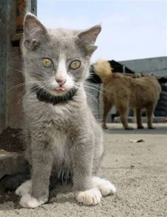 """Luntik the cat lives in Russia's far eastern city of Vladivostok and caused a stir because of his four ears. He has been dubbed """"Jedi Cat"""" by the British press. While his two main ears are perfectly normal, the small pair of vestigial ears contain no ear canals."""