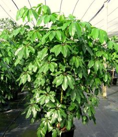 The marble queen pothos plant is part of the hardy easy care pothos family of houseplants all - Hardy office plants ...