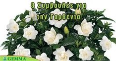8 tips for a beautiful gardenia – Embroidery Desing Ideas Apron Pattern Free, Indoor Plants, Home And Garden, Bloom, Gardening, Tips, Green, Nature, Flowers