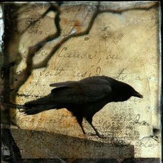 Curious Crow by Gothic and Crows Art Photography