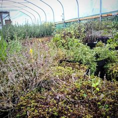 Our 'Herb'an Jungle... #herbs #horticulture #urbanfarming #polytunnel #growingtogether #green #westlondon #lavender #marjoram #sage #thyme #hyssop #urbanfarm #landscaping #ediblegarden #education #loveplants #london #local #cultivatelondon #growyourown #plantpower #handbuilt #acton #ealing #youth #jungle #socialenterprise #socialacton #urbangardenersrepublic