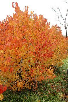 Photo #25907 | Viburnum dentatum 'Autumn Jazz'®