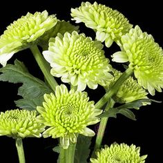 Google Image Result for http://www.fiftyflowers.com/site_files/FiftyFlowers/Image/Product/Fifty-Kermit-350.jpg