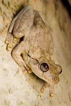 Northern Laughing Treefrog, Litoria rothi, Australia