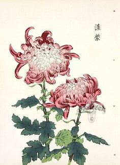 kunst from Art of the Japanese Chrysanthemum Set Yourself Apart: Create Your Own Wind Chime Garden W Chrysanthemum Drawing, Japanese Chrysanthemum, Chrysanthemum Flower, Asian Flowers, Oriental Flowers, Japanese Flowers, Japanese Flower Tattoos, Exotic Flowers, Purple Flowers