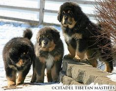 Tibetan Mastiff puppies... so cute. Just want one to snuggle up with.