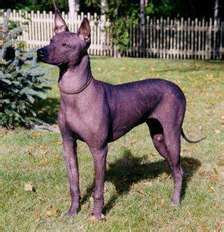 """The Xoloitzcuintli (pronounced show-low-eats-queen-tlee), or """"Xolo,"""" is an ancient, natural breed from Mexico.    Their name is derived from the name of the Aztec Indian god Xolotl and Itzcuintli, the Aztec word for dog. With a reputation as a healer, the breed and its warm skin is often put to use in remote Mexican and Central American villages to ward off and cure ailments like rheumatism, asthma, toothache and insomnia. Xolos were also believed to safeguard the home from evil spirits and…"""