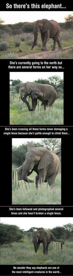 La proverbiale delicatezza degli elefanti...