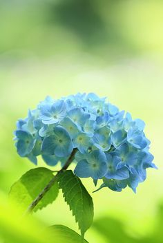 Blue hydrangea #Spring #Beauty #Flowers ★ www.facebook.com/EssencetoSuccess