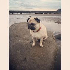 Good morning folks.. As it's throwback day I'd thought I'd share with you my walk on the beach which left me stranded on a rock  says Mabel.. It was sink or swim time..  #tbt #pugbasement #feature_do2#dogsofinstagram #pugmob #pugnation #zerozeropug #puglove #smilingpugs #pugrequest #flatnosedogsociety #TheTomCoteShow #pugsandkisses #puglife #insta_dogs #sendadogphoto #Beoncanadianpugs #pug #lacyandpaws #speakpug #pugsofinstagram #pugs #pugsproud_feature #dogs #pugsloversclub #cutepugsonly…