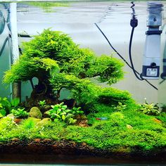Looking for inspiration to get your fresh water aquascape or aquarium started? Or maybe just looking for some new ideas? Check out Bonsai Driftwood's gallery. Planted Aquarium, Planted Betta Tank, Betta Fish Tank, Aquarium Fish Tank, Goldfish Aquarium, Aquascaping, Cool Fish Tanks, Tropical Fish Tanks, Fish Tank Themes