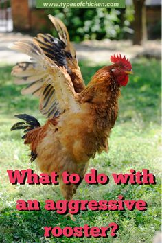 Roosters bully everyone around them, and they are good at it. They can scare off dogs, cats, and even their own chicken keepers along with their families. At the end of the day, it is a part of every rooster`s job to fend off any threat. #rooster #aggressive #tips #farmer #homesteading Types Of Chickens, Raising Backyard Chickens, Backyard Chicken Coops, Keeping Chickens, Chickens And Roosters, Pet Chickens, Rabbits, Urban Chickens, Baby Chicks