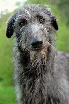Scottish Deerhound - While he possesses a quiet and dignified personality in the home, the Scottish Deerhound may try to chase any furry animals that run past him. The breed's crisp, somewhat wiry coat, however, is exceptionally easy-care. http://www.akc.org/dog-breeds/scottish-deerhound/care/