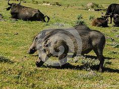 A view of a pair of Warthogs grazing among African Buffaloes. African Buffalo, Elephant Images, African Animals, Zebras, Giraffe, Horses, Felt Giraffe, Giraffes, Horse