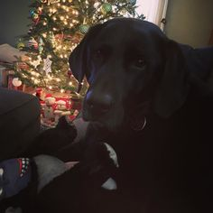 Merry Christmas Eve from this girl! Yes my 77-pound dog is sitting on my lap!