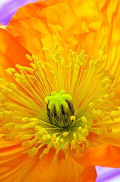 plant, color, orang poppi, photography flowers poppies, andi small