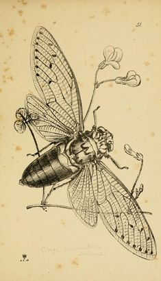 Westwood's illustration of a Pomonia imperatoria in Arcana entomologica biodiversitylibrary.org/page/24695685