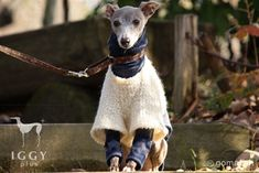 Classical Borel style Vest / White in IGGYplus italian greyhound clothes