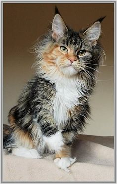 Aldaler's Xara Maine Coon. This cat looks like a marvel villian.