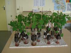 plantation haricot en classe