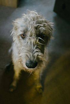 Irish wolfhounds make life better Big Dogs, Cute Dogs, Dogs And Puppies, Doggies, Wolfhound Dog, Irish Wolfhounds, Scottish Deerhound, Irish Terrier, Dog Rules