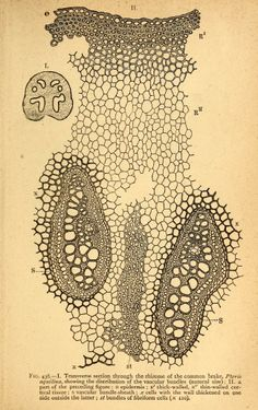 Text-book of structural and physiological botany / - Biodiversity Heritage Library Organic Structure, Natural Structures, Cell Structure, Memento Mori, Ernst Haeckel, Antique Illustration, Illustration Art, Painting Templates, Anatomy Drawing