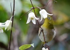Japanese White-eye and winter Clematis | Flickr - Photo Sharing!