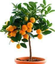 des astuces pour faire pousser les pépins d'orange ou de citron